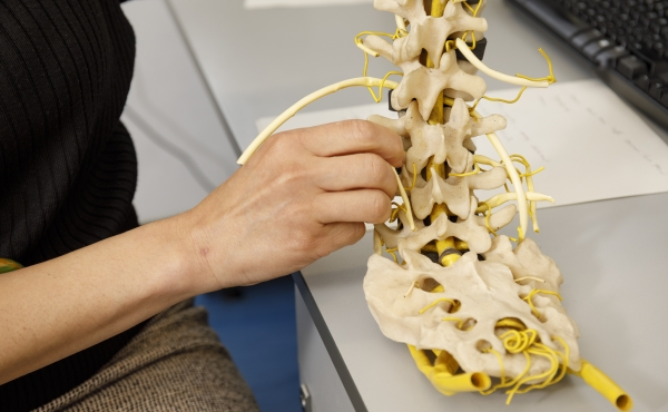 A hand moving a model of a spine